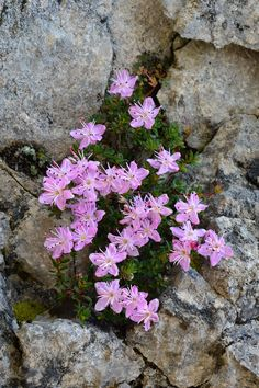 Unusual Flowers, Amazing Flowers, Purple Flowers, Beautiful Flowers, Rock Flowers, Flowers Nature, Wild Flowers, Alpine Flowers, Alpine Plants