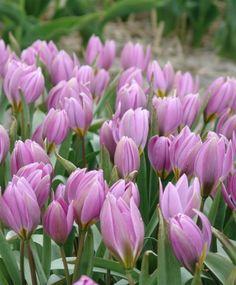 Tulipa humilis Magenta Queen - Species Tulips - Tulips - Flower Bulb Index