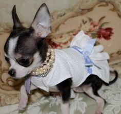 All dolled up! Adorable, but I would never make my pup wear this, haha Cute Chihuahua, Chihuahua Puppies, Cute Puppies, Cute Dogs, Chihuahuas, Yorkies, Dog Christmas Clothes, Large Dog Clothes, Best Dog Breeds