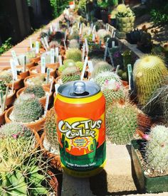 Cactus of the Day. When working on your collection on a hot day what else are you going to drink. From the Alegria Cactus Collection. Enjoy #cactusandsucculents #cactushome #cactushoarder #cactuscrew #cactusclub #cactus #cactusjon #cactuscooler #waterwisegardening #droughttolerant #cactusmagazine #cactusmania #cactusmovement #cactuslover #cactuscrazy by cactus_jon #waterwise #waterwisegardening #drought #droughttolerant