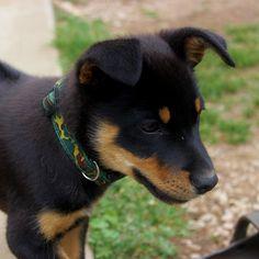 australian kelpie --- looks just like my jax! Australian Shepherds, Australian Sheep Dogs, Doggies, Pet Dogs, Dog Cat, West Highland Terrier, Scottish Terrier, Rottweiler, Happy Animals