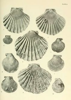 The geology and paleontology of the marine Pliocene of San Diego, California (Paleontology: Pelecypoda) - BioStor