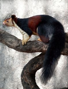 squirrel hindu personals Book with award-winning emirates holidays and experience luxury stunning hindu temples macaque monkeys, javan langur and squirrels are also very common.