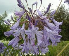 Agapanthus Ravening Garden Pépinière de l'Ile -- Ile de Bréhat