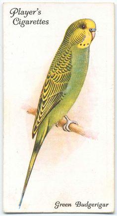 Green Budgerigar. (ca. 1903-1917)