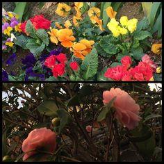 【rockyjapan】さんのInstagramをピンしています。 《As we get into Feb, it gets colder and colder. But I found some beautiful flowers in Shimokitazawa. I can't wait to see the Sakura in Tokyo. Just less than two minutes maths. 2月月に入って寒いですが、花咲いてますね〜。ボタン、パンジー、梅、桃。早く桜が見たいです。今年の春が東京での初桜。めっちゃ楽しみなんです。写真は下北沢できれいに咲いてたパンジーとボタン。寒いけどホッとします。#Japan #晩秋 #fall #秋 #harajuku #原宿 #shrine #temple #日本 #神社仏閣 #寺 #神社 #nature #自然 #パワースポット #forest #森 #park #flower #花》