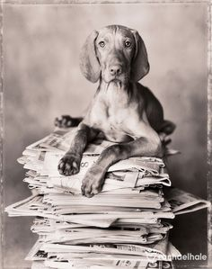 Clyde (Hungarian Vizla) - Clyde is very proud of his newspaper collection.  by Rachael Hale