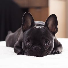 Frenchie, French Bulldog