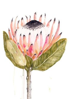A loose, yet thoughtful Grotti Lotti watercolour protea print. Beautiful, vibrant colours give your house Spring brightness all year round. Anime Comics, Watercolor Flowers, Watercolor Paintings, Watercolour Illustration, Watercolours, Protea Art, Plant Drawing, Australian Art, Diy Canvas Art