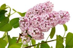 Want the most fragrant plant on earth in your garden? Learn about planting lilac bushes and how to grow them, including how to prune lilacs, and lilac care! Lilac Tree, Lilac Flowers, Wisteria How To Grow, Lilac Varieties, Propagate Succulents From Leaves, Lilac Plant, Gemüseanbau In Kübeln, Organic Gardening Magazine, Lilac Bushes