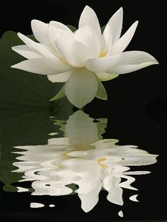 White Lotus flower (Skt Pundarika). The Lotus flower is one of the most ancient…