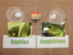 Reptiles have scaly skin while amphibians have slimy porous skin. This can be demonstrated using hard boiled eggs. The reptile represents an egg with the shell on while the amphibian represents t… Reptiles Preschool, Les Reptiles, Preschool Science, Reptiles And Amphibians, Montessori Science, Montessori Elementary, Preschool Lessons, Science Activities, Amphibians