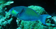 Parrotfish munch on rocky coral and excrete sand. That sand, a new study finds, is important for building reef islands. ~~ Chris Perry/Univ. of Exeter