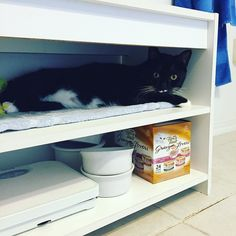 #stash our #diabetic #cat waits in his cubby for his #shot of #insulin everyday after he eats. He is so good about it & never runs away. I don't think I could give him a shot twice a day if he wasn't so easy. #diabeticcat #catsofinstagram #catstagram #lovecats #catsagram #cats #crazycatlady #catlady