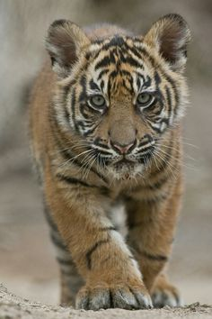 Basic Facts About Tigers   Defenders of Wildlife