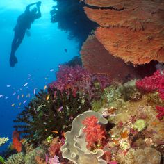 Explore the depths of the #sea with its' vibrant #corals and #marine life.  Stay at the Outrigger on the Lagoon Fiji or Tokoriki Island.  #luxurytravel #Journese #adventure #dive