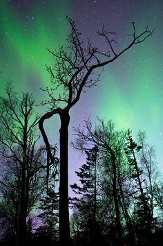 ✮ A gnarled cottonwood tree in silhouette against a beautiful aurora borealis filled sky in Alaska