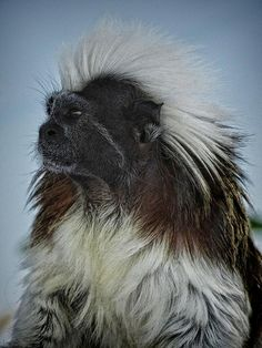 The critically endangered Cotton-top Tamarin can now be found only in southeastern Costa Rica and parts of Columbia in South America