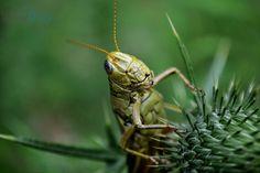 "Photo ""Hello Grasshopper!"" by teewhyell"