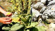 The Natural Pharmacy of Crete - all you need to know about cretan herbs and how to collect them