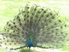 Sweet Peacock
