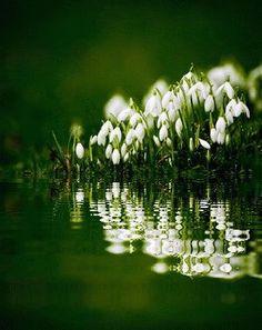 ghiocei reflectie apa imagine animata.gif (300×378) Beautiful Flowers, Beautiful Pictures, Studio Background Images, Garden Inspiration, Vines, Dandelion, Spring, Plants, Gardening