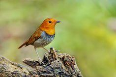 日本歌鴝 コマドリ【雄鳥】 | Flickr - Photo Sharing!