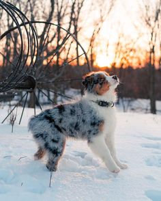 @kodiaktheaussie - Tap the pin for the most adorable pawtastic fur baby apparel! You'll love the dog clothes and cat clothes! <3
