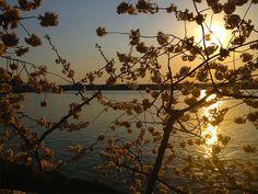 Cherry BlossomsDC21_MQ2013