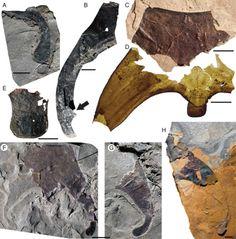Examples of fossil specimens, the sea scorpion Pentecopterus..