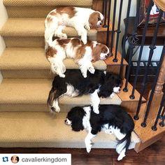Instagram media thecreepycavalier - #Repost @cavalierkingdom ・・・ The Achilles heel of all creepy cavaliers. Sleep.