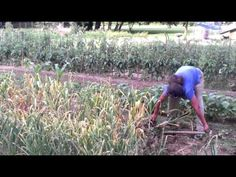 Fresh Garlic Harvest