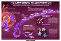 The Human Genome www.infographicality.com.jpg