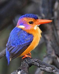 Pygmy Kingfisher . Bird from South Africa . kruger-2-kalahari.com