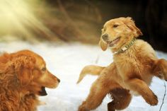 that little pup looks just like my Wilson & looks like he acts like him too : ) Golden Retrievers, Dogs Golden Retriever, Baby Dogs, Pet Dogs, Dogs And Puppies, Doggies, Pet Pet, I Love Dogs, Puppy Love