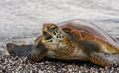 Bay Isle Home 'Ecuador, Galapagos, Young Pacific green turtle' by Arthur Morris Giclee Art Print on Wrapped Canvas Size: H x W x D Green Turtle, Turtle Love, Pacific Green, Turtle Beach, Tortoises, Pet Care, Cute Animals, Photos, Pictures