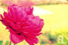 Sommergefühle - Pfingstrose Blüte