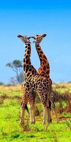 Rothschild's Giraffes in the Murchison Falls National park, Uganda
