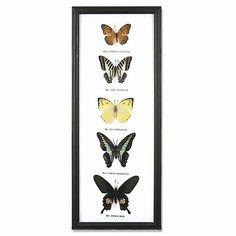 5 Butterfly Specimens on Cotton Back Wooden Frame