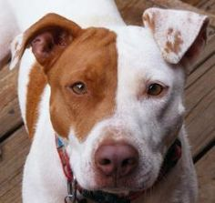 Patches is an adoptable Pit Bull Terrier Dog in Memphis, TN. **Courtesy Listing. Patches is not a Hearts of Gold dog. For more information on adopting Patches, please contact her rescuer at the email ...
