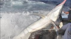 """A nice black marlin off Cairns, Australia jumps and lands aboard the """"Little Audrey."""" The crew was lucky to escape with only minor injuries and the feisty marlin was released."""