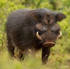 The giant forest hog -- unknown to most -- is the largest species of wild pig. Attaining weights of up to they use their massive heads and curved tusks to omnivorously forage on the forest floor. They are mostly nocturnal, & prefer the cover of the Rare Animals, Zoo Animals, Animals And Pets, Congo Rainforest, Big Deer, Beast Creature, Hunting Pictures, Wild Boar, Elf Makeup