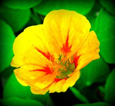 Pop Nasturtium - Jon Lander - copyright 2013 - yep, I grew it, and it's pop art you can eat. Windowbox gardening.