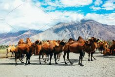 Group of double hump camels in the desert in Nubra Valley, Ladakh, India Photos Group of double hump camels in the desert in Nubra Valley, Ladakh, India. by Twinster Photo