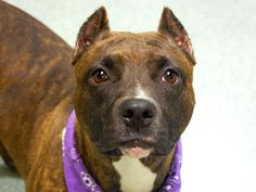 TBD Unknown Status -10/12/14 Manhattan Center ***NEW PHOTO***  My name is MEGAN. My Animal ID # is A1016767. I am a female br brindle and white pit bull mix. The shelter thinks I am about 1 YEAR   I came in the shelter as a STRAY on 10/08/2014 from NY 11420, owner surrender reason stated was STRAY. https://www.facebook.com/Urgentdeathrowdogs/photos/a.627233087289574.1073741968.152876678058553/885876208091926/?type=3&theater