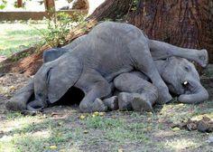 Dozy baby elephants via funny wildlife Facebook page