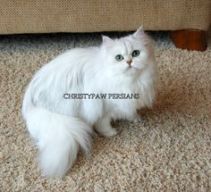 Chinchilla Silver, Shaded Silver & Golden Persian Kittens for sale - Christypaw Persians White Persian Kittens, Persian Kittens For Sale, Cats And Kittens, Buy A Kitten, Kitten For Sale, Beautiful Kittens, Beautiful Babies, Very Scary, Pet Home