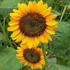 One of the easiest flower seeds to grow, Sunflower seeds, makes a huge statement in the summer landscape. Dwarf Helianthus are great for containers and flower beds, and they only reach 12 - 24 inches