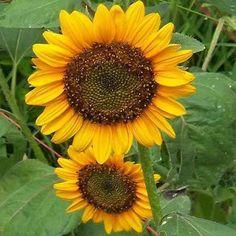 Sunflower, Dwarf Sunspot