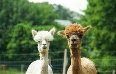 Alpakas :) Animals, Alpacas, Animales, Animaux, Animal, Animais